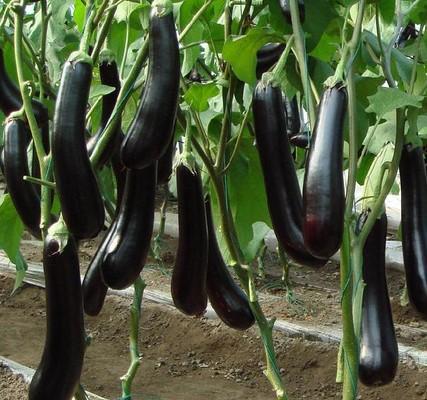 【厂家】茄子种苗如何较好的选择好的容器 <a href='/' target='_blank'>茄子种苗</a>变黄怎么恢复