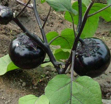 【热】茄子种苗长途运输重视什么 <a href='/' target='_blank'>茄子种苗</a>如何较好的选择好的容器