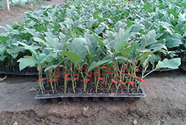 【全】茄子种苗运输怎么做 茄子种苗有效防止叶子变黄的办法