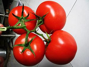 【经验】如何处理番茄种苗床土 番茄种苗蹲苗期注意什么