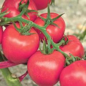 【盘点】为您解析番茄种苗培育中会问题 <a href='/' target='_blank'>番茄种苗</a>早衰如何应对