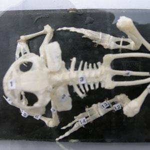 蛙的骨骼标本