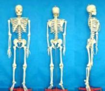 人体骨架标本