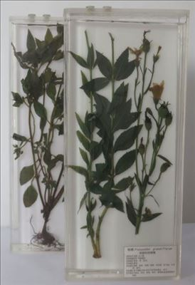 植物原色覆膜标本