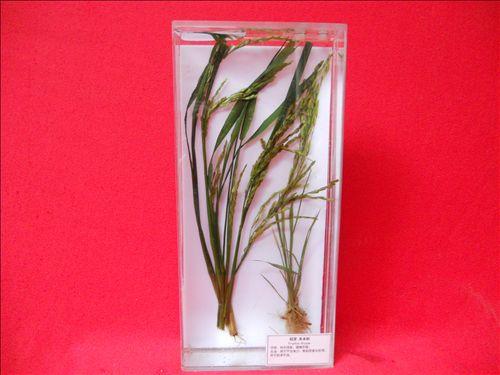 水生植物浸制标本