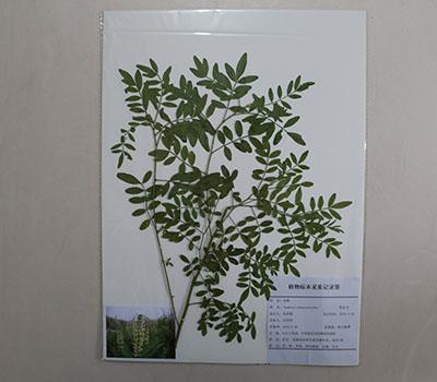药用植物覆膜标本