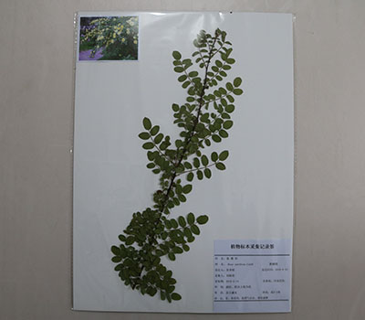 药用植物形态标本
