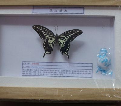 昆虫干制标本