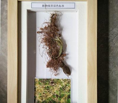 中药蜡叶标本