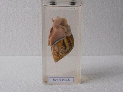 蜗牛浸制标本