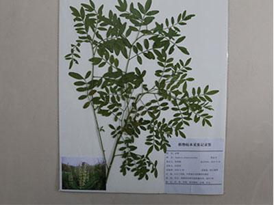 植物腊叶标本