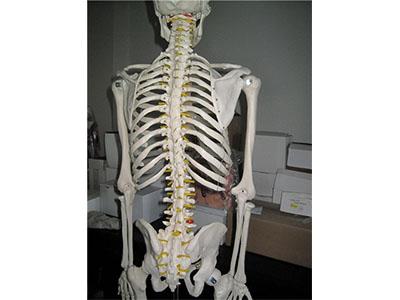 人体骨骼标本