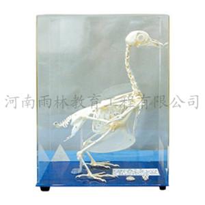 鸽骨骼标本