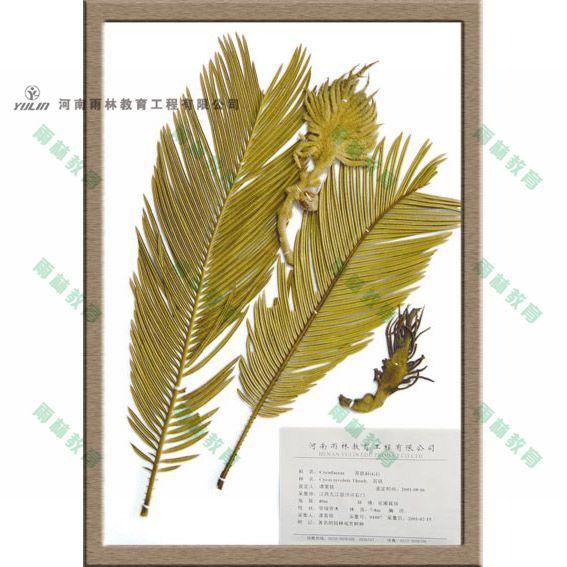 苏铁科植物标本