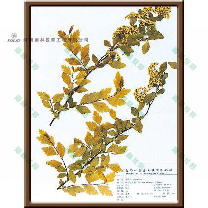 中华绒线菊标本