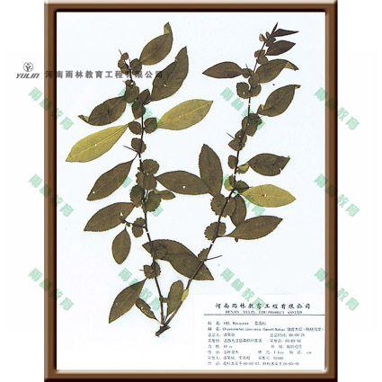 皱皮木瓜腊叶标本