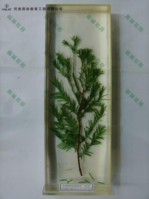 水杉浸制标本