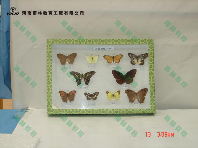 常见蝴蝶标本