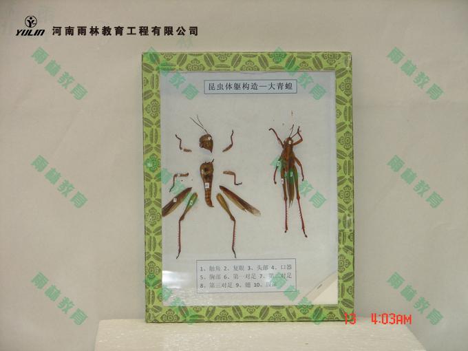 蝗虫结构标本
