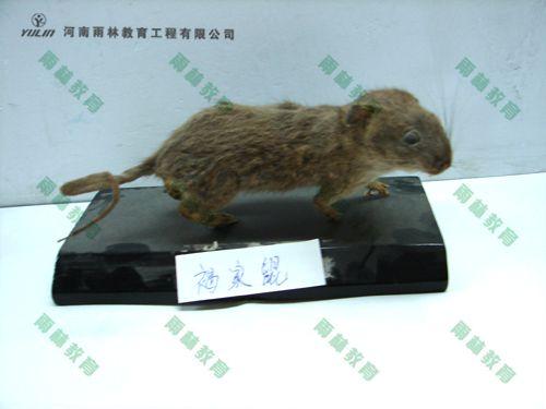 褐家鼠剥制标本
