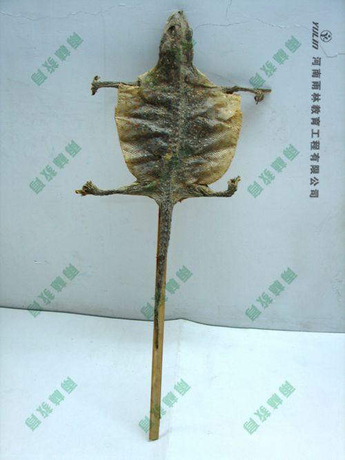 龟类剥制标本