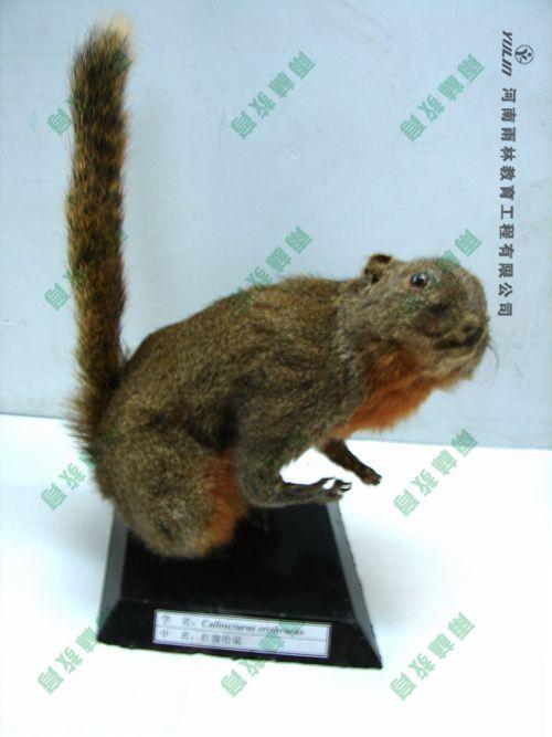 松鼠剥制标本