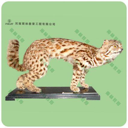 豹猫剥制标本