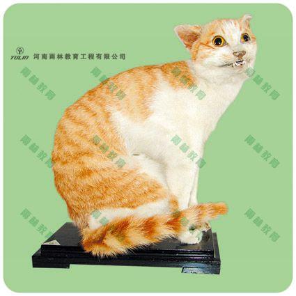 家猫剥制标本