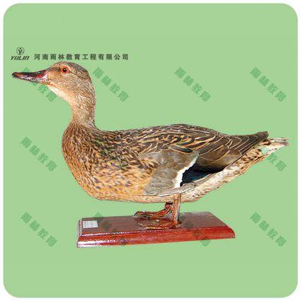 绿头鸭剥制标本