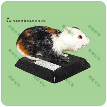 鼠兔标本剥制标本