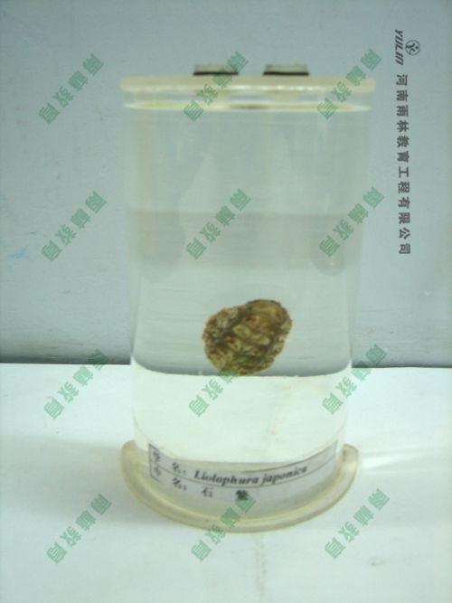 石鳖浸制标本