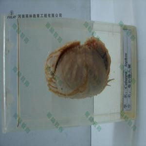 卷折馒头蟹标本