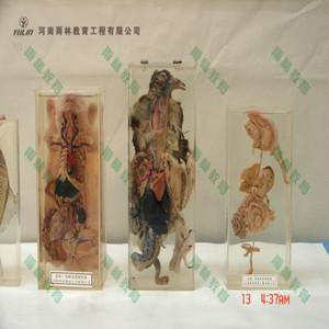鸽解剖包埋标本