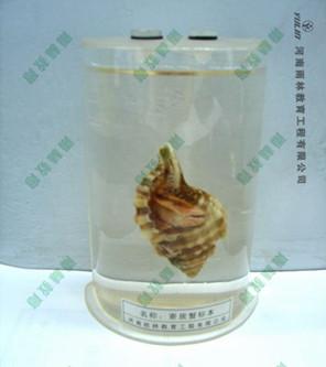 寄居蟹浸制标本