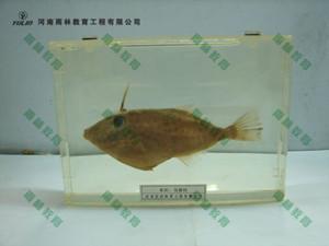 鱼解剖包埋标本