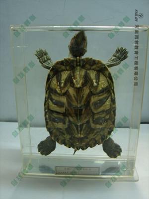 乌龟包埋标本