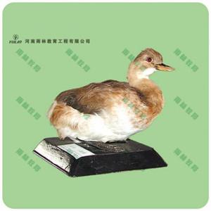 鸭剥制标本