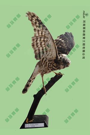 松雀鹰剥制标本