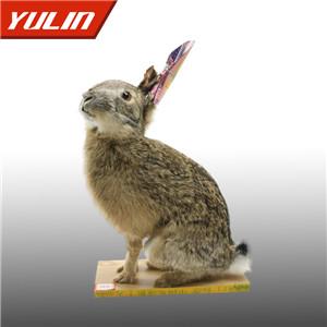 华南兔标本