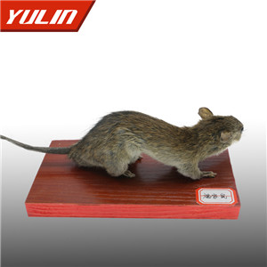 褐家鼠标本