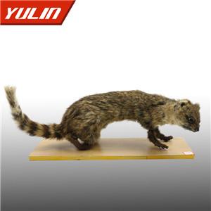 斑灵猫标本