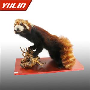 小熊猫标本