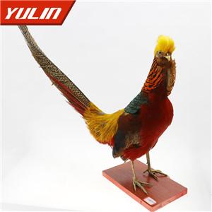 红腹锦鸡标本