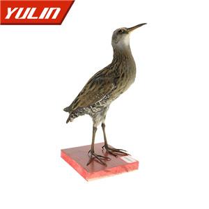 红脚苦恶鸟标本