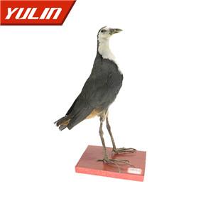 白胸苦恶鸟标本