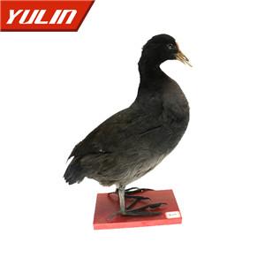 黑水鸡标本