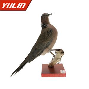 珠颈斑鸠标本