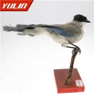 灰树鹊标本