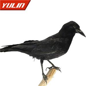 秃鼻乌鸦标本