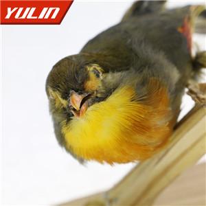 红嘴相思鸟标本